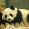 【パンダ】シャンシャンが抽選で限定公開!!赤ちゃんの姿が見られるのは今だけ!
